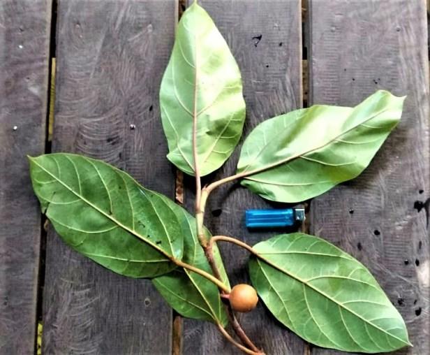 02 Ficus apiocarpa Katingan