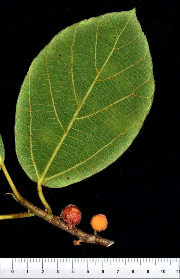 02 Ficus subfulva  Kg. Nalumad, Kopongian●20190354★ Shuai LIAO-LSL_0136 .JPG