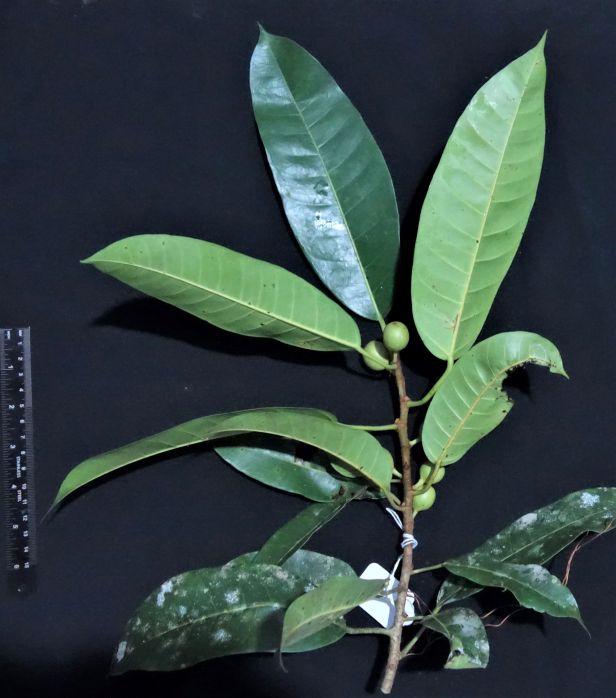 03 EG 834 Ficus globosa  Elliot Gardner.JPG