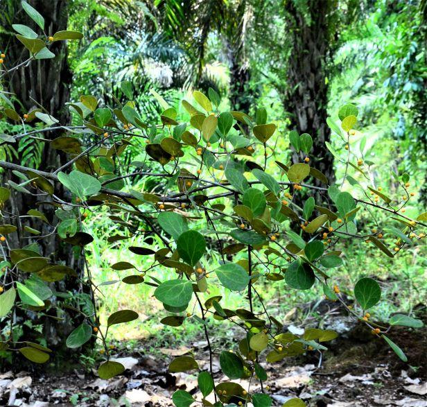 03 Ficus deltoidea Postar Miun Tongod, Kg. Semundoh●20190420★Shuai LIAO-LSL_1547