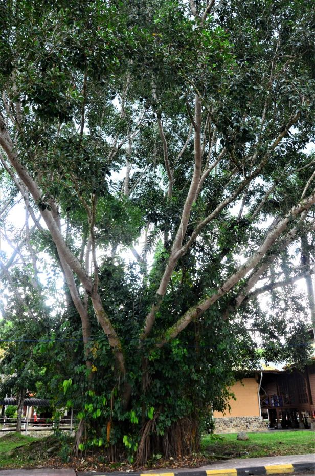 03 Ficus elastica Tambunan, Jalan Tamadun●20190398★ Shuai LIAO-LSL_0515.JPG
