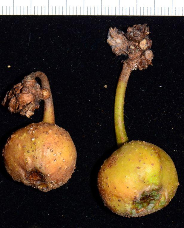 03 Ficus fistulosa fem Nalumad, Sg. Mokodou●20190360★Shuai LIAO-LSL_9005.JPG