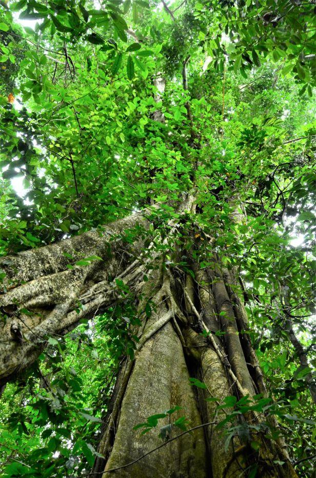 03 Ficus lawesii Sukau Rainforest Lodge●20190470★ Shuai LIAO-LSL_3443.JPG