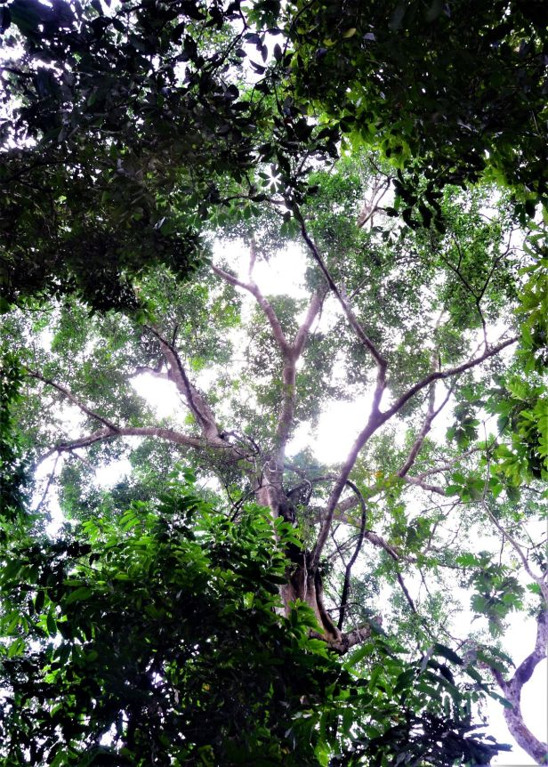 03 Ficus stricta  Sukau Rainforest Lodge●20190469★ Shuai LIAO-LSL_3377.JPG