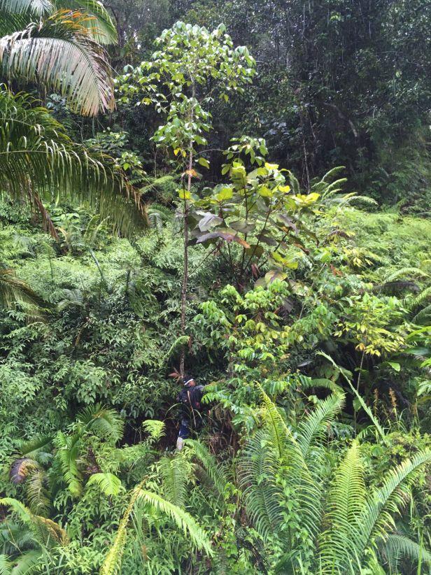 04 Ficus bruneiensis Sg Sebatu nr Rumah Nading Nanga Senantang EG879  .JPG