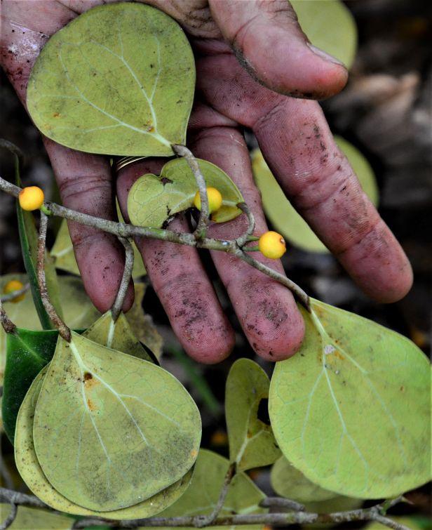 04 Ficus deltoidea Postar Miun Tongod, Kg. Semundoh●20190420★Shuai LIAO-LSL_1547
