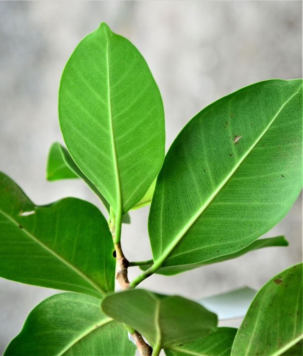 04 Ficus microcarpa, Sepilok Nature Resort 20190437★ Shuai LIAO-LSL_2116.JPG