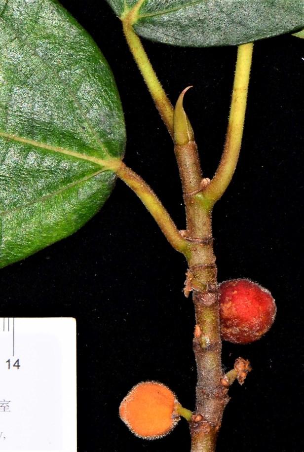 04 Ficus subfulva  Kg. Nalumad, Kopongian●20190354★ Shuai LIAO-LSL_0136 - Copy.JPG