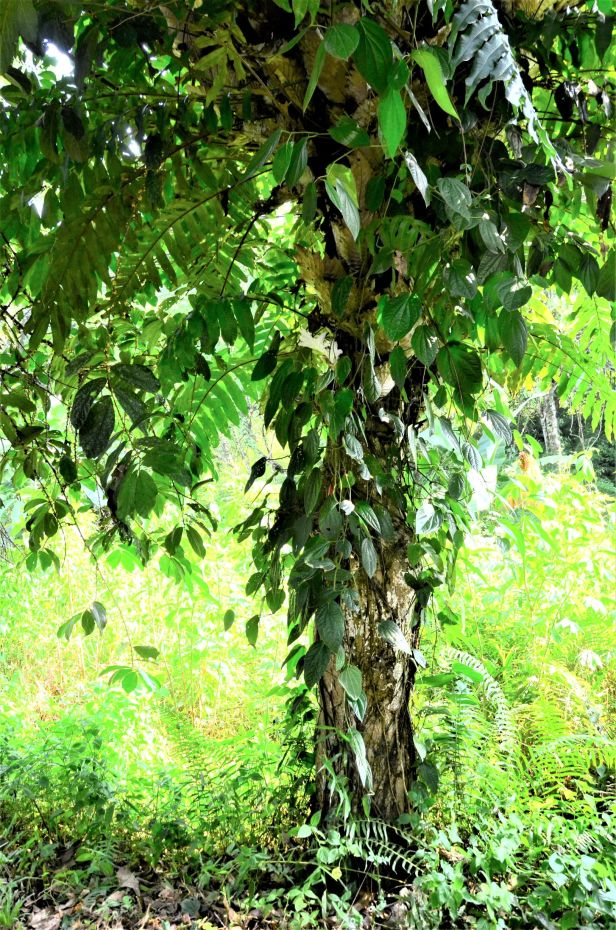 05 Ficus scaberrima, RDC Sepilok Jalan Fabia●20190457★ Shuai LIAO-LSL_2992.JPG