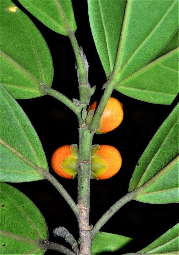 05 Ficus subgelderi  Tongod, Pinangah FR●20190428★ Shuai LIAO-LSL_1749.JPG