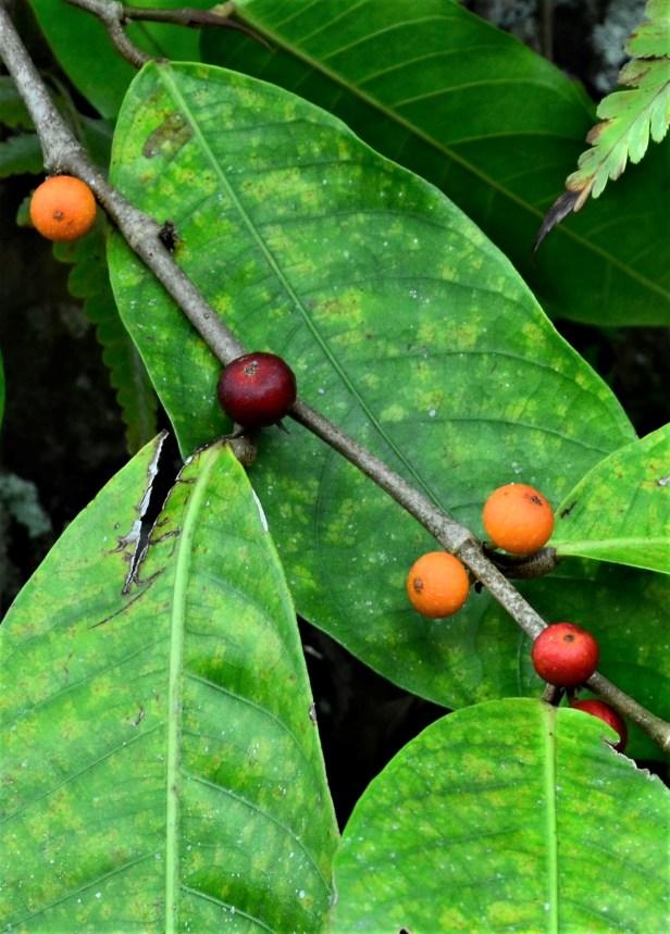 05 Ficus subulata Tongod, Kg. Semundoh●20190422★ Shuai LIAO-LSL_1624.JPG