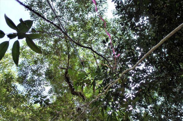 06 EG 834 Ficus globosa Elliot Gardner