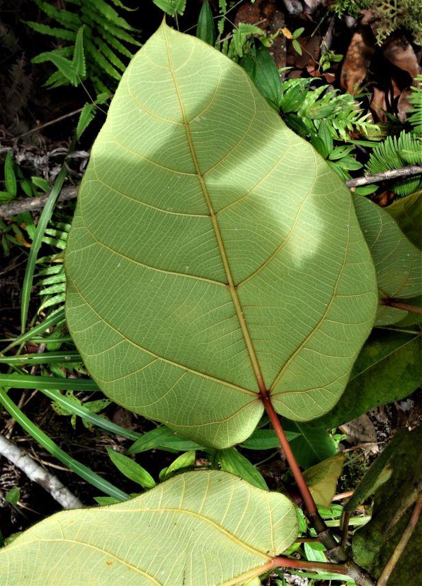06 Ficus bruneiensis Sg Sut Elliot Gardner EG822 a
