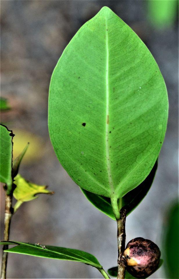 06 Ficus microcarpa, Sandakan, Pusat Bandar,Jalan Leila●20190447★Shuai LIAO-LSL_2431.JPG