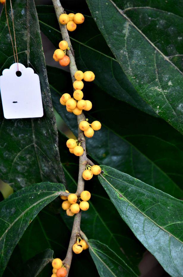 06  Ficus scaberrima Tongod, Kg. Semundoh●20190421 Shuai LIAO-LSL_1575.JPG