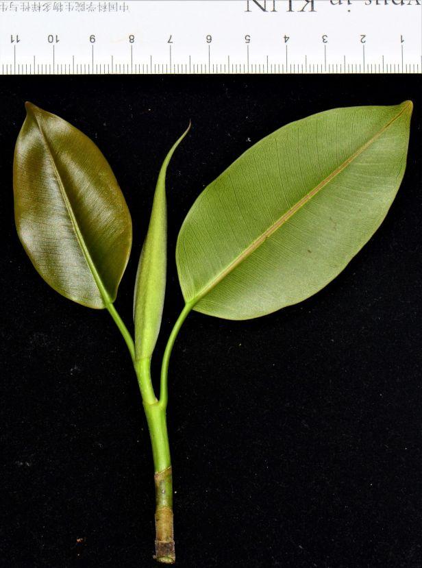06 Ficus subcordata— Florida, USDA-ARS Subtropical HRS◆ Java●PI 67502●20200011★Alex Sanchez-1.jpg