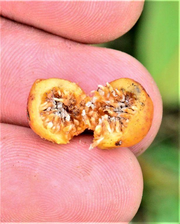 07 Ficus consociata, Beluran, Ulu Sapa Payau FR, ●20190434★ Shuai LIAO-LSL_2054.JPG