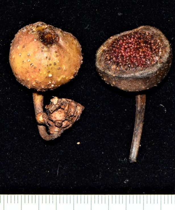 07 Ficus fistulosa fem Nalumad, Sg. Mokodou●20190360★Shuai LIAO-LSL_9005.JPG