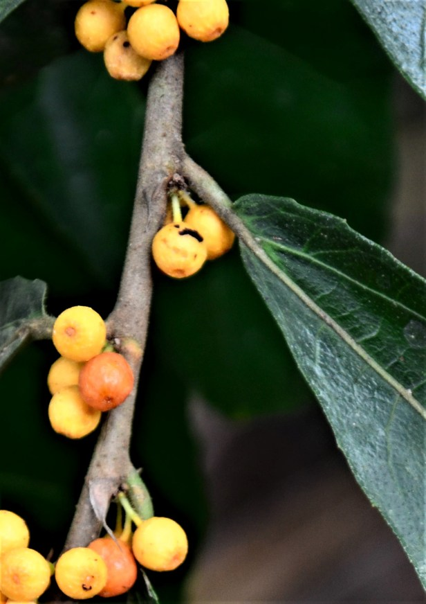 07 Ficus scaberrima Tongod, Kg. Semundoh●20190421 Shuai LIAO-LSL_1575.JPG