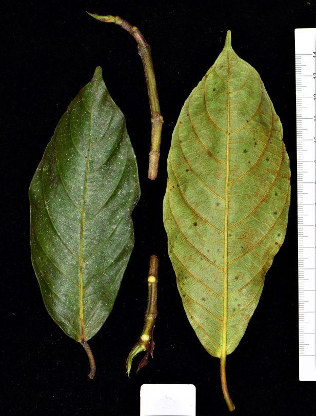 08 Ficus fistulosa fem Nalumad, Sg. Mokodou●20190360★Shuai LIAO-LSL_9005.JPG