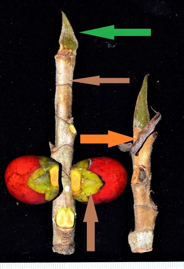 08 Ficus forstenii  Kg. Nalumad, Sg. Mokodou●20190359★ Shuai LIAO-LSL_8974.JPG