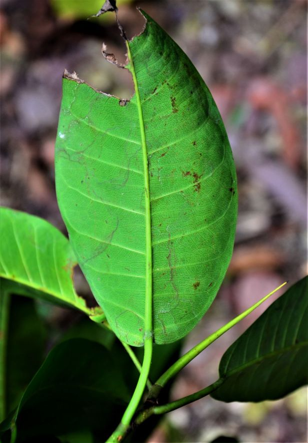 08 Ficus lawesii, Sukau Rainforest Lodge●20190470★ Shuai LIAO-LSL_3453.JPG