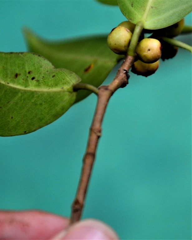 08 Ficus sumatrana Kg Sukau ●20190473★ Shuai LIAO-IMG_9752