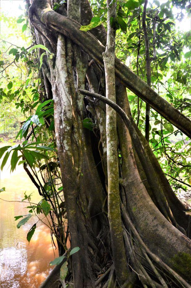 09 Ficus sumatrana Kg Sukau ●20190473★ Shuai LIAO-IMG_9752