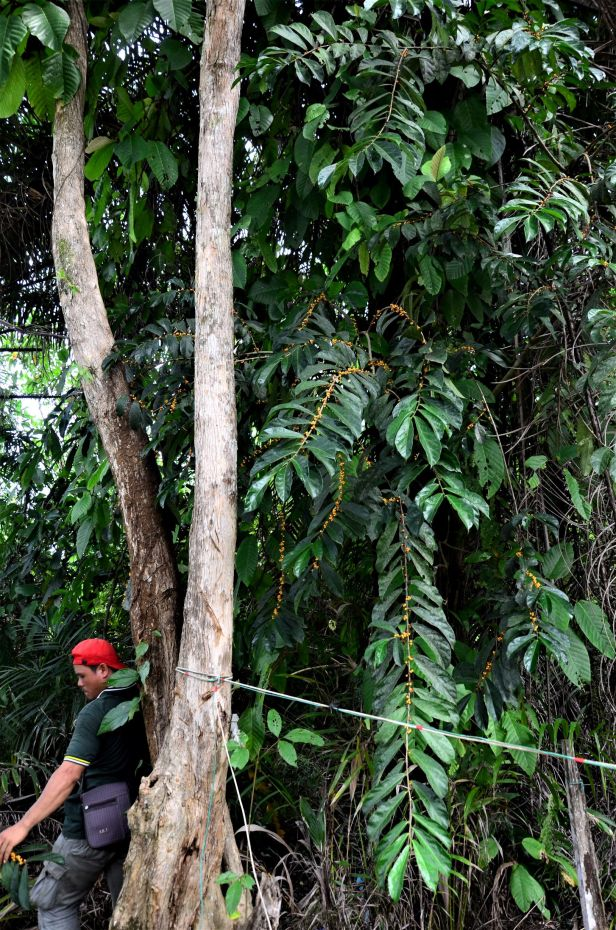 10 Ficus scaberrima Tongod, Kg. Semundoh●20190421★Shuai LIAO-LSL_1584