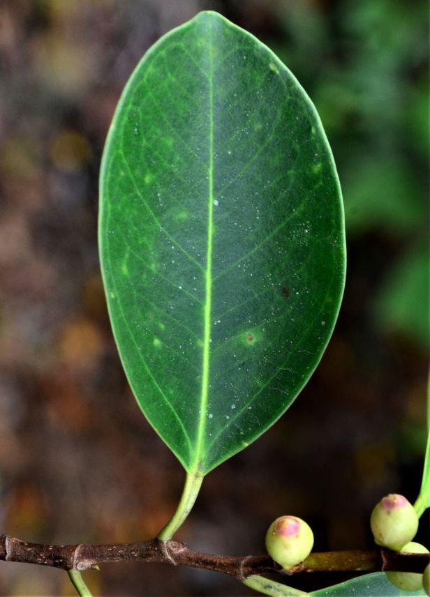 11 Ficus delosyce, Beluran, Tawai FR, Death March Memorial●20190433★ Shuai LIAO-LSL_2028