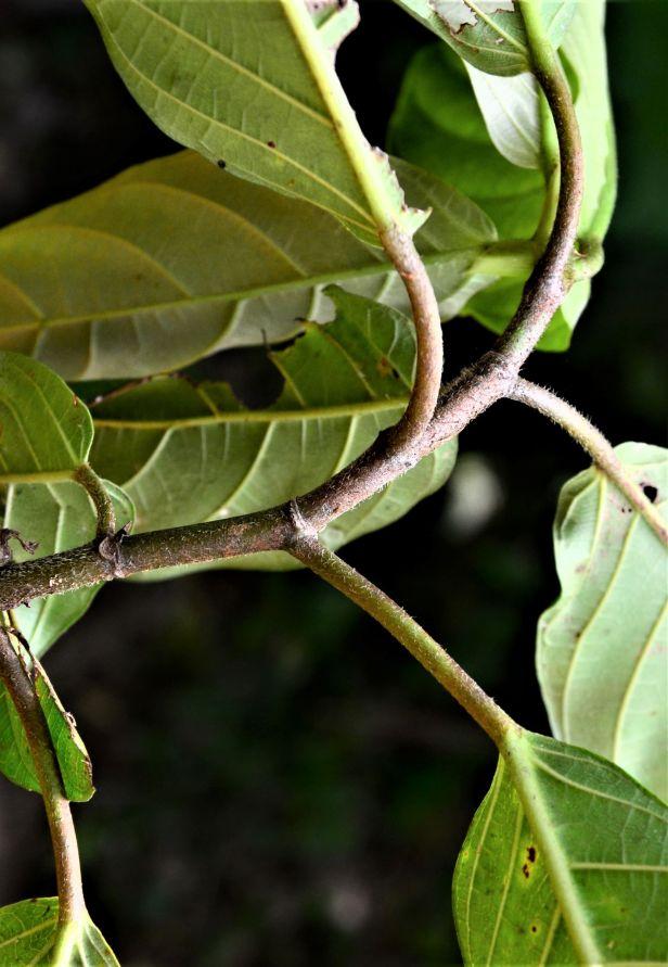 11 Ficus fistulosa fem Nalumad, Sg. Mokodou●20190360★Shuai LIAO-LSL_9005.JPG