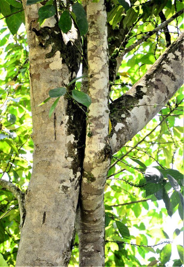 11 Ficus gul Kg. Nalumad●20190353★ Shuai LIAO-LSL_0640.JPG
