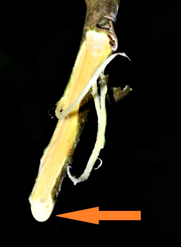 112 Ficus forstenii Sg. Mokodou●20190359★Photographed By Shuai LIAO-LSL_8962.JPG