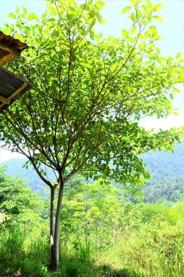 16 Ficus subfulva fem Kg. Nalumad, Kopongian●20190354★Shuai LIAO-LSL_0190 .JPG