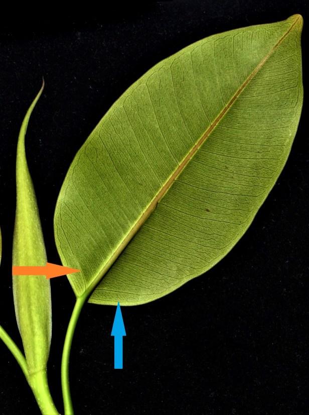 18 Ficus subcordata●20200011★Shuai LIAO-LSL_4568 - .JPG