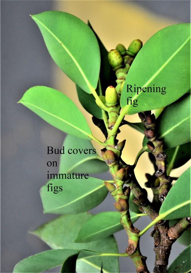 Bud covers 03 Ficus elastica bud covers 190398★Shuai LIAO-LSL_0531.JPG