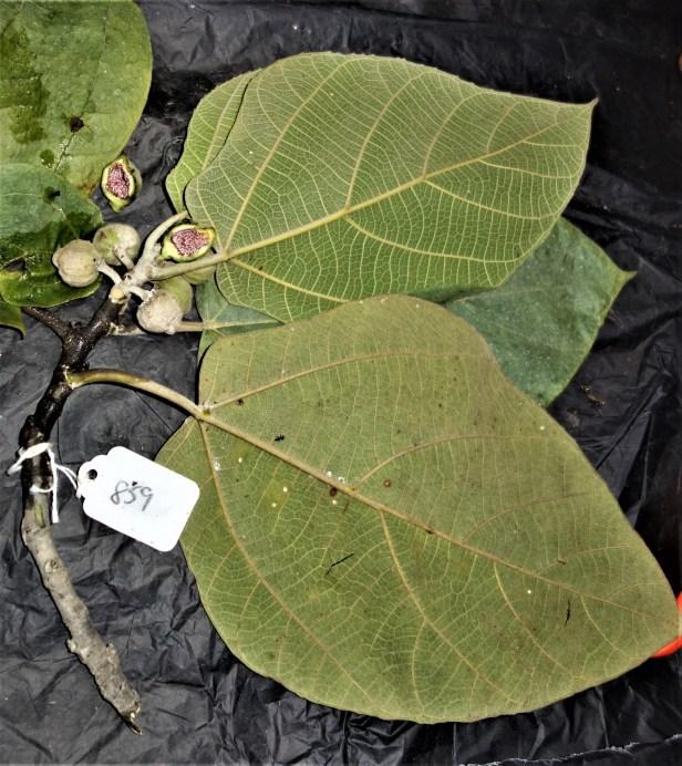 EG 859 EG859 specimen