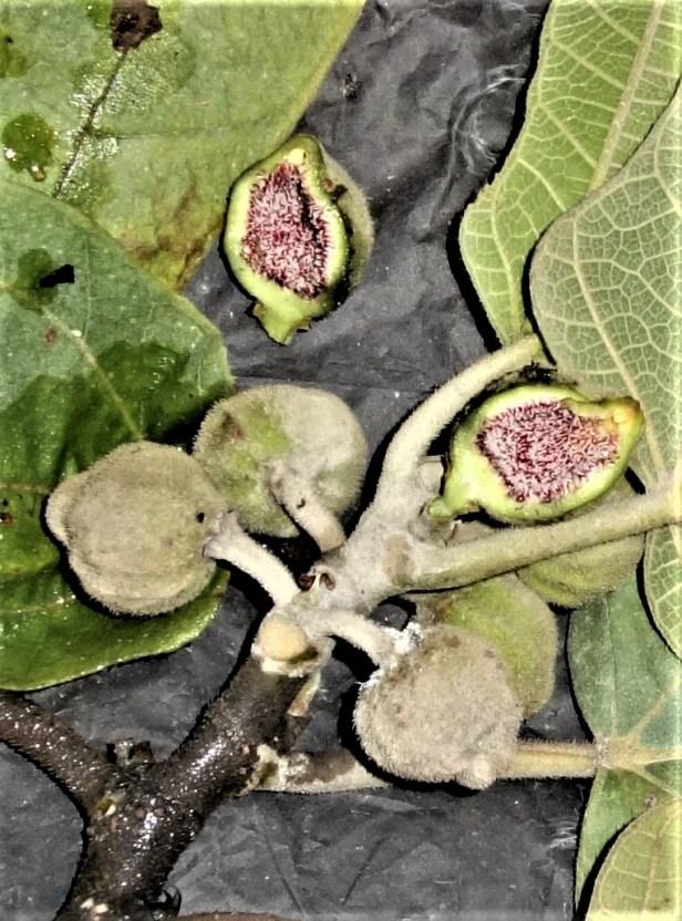 EG 859  Ficus fulva query  Bukit Raya Nanga Merit,Kapit Sarawak.JPG