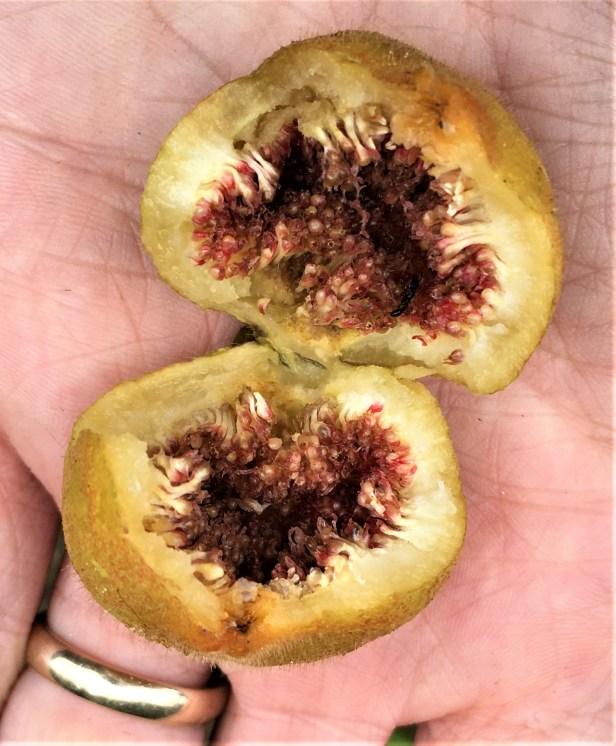 Ficus aurata not collected but like EG886 d.JPG