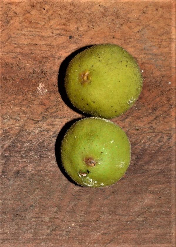 Ficus deltoidea Pontianak peatswamp (6).jpg