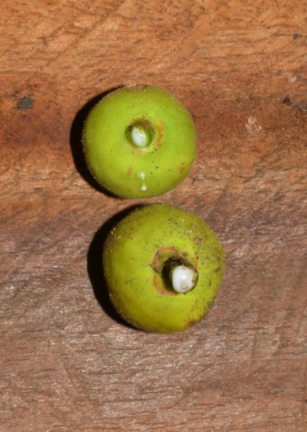 Ficus deltoidea Pontianak peatswamp (7).jpg