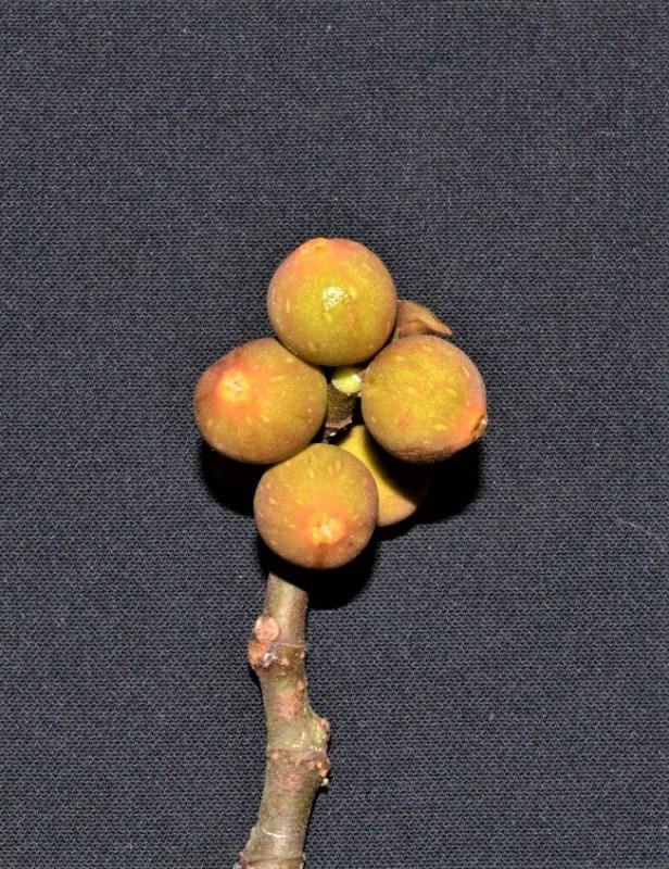 Ficus grossularioides Pontianak kerangas (2).jpg