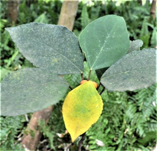 Ficus grossularioides Pontianak kerangas (3)