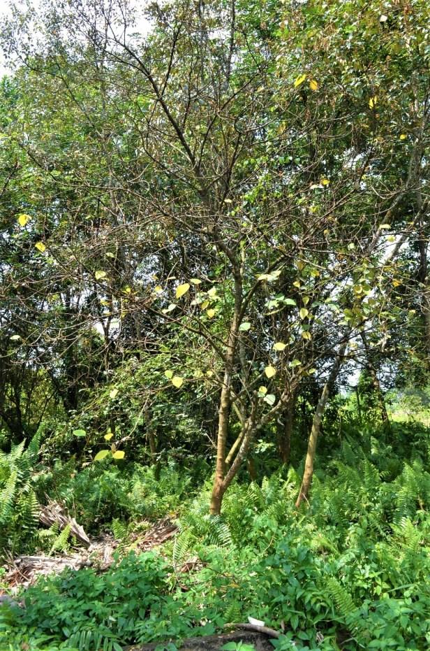 Ficus grossularioides Pontianak kerangas (4).jpg