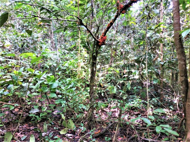 Ficus hemsleyana Pontianak peatswamp (4).jpg
