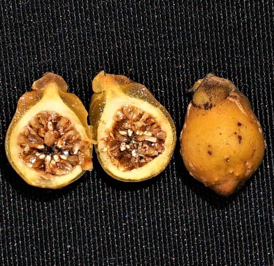 Ficus spathulifolia DSC03091.JPG