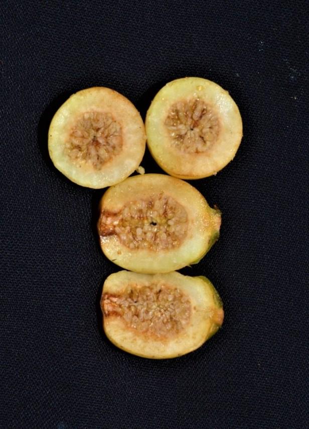Ficus sundaica Form A.jpg