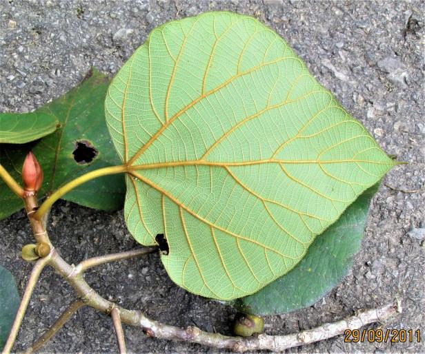 IMG_1063 - Ficus endospermifolia resized .JPG