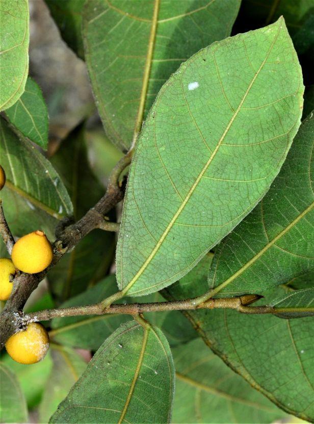 01 Ficus inaequipetiolata, Tongod, Tangkulap FR●20190413★ Shuai LIAO-LSL_1299.JPG