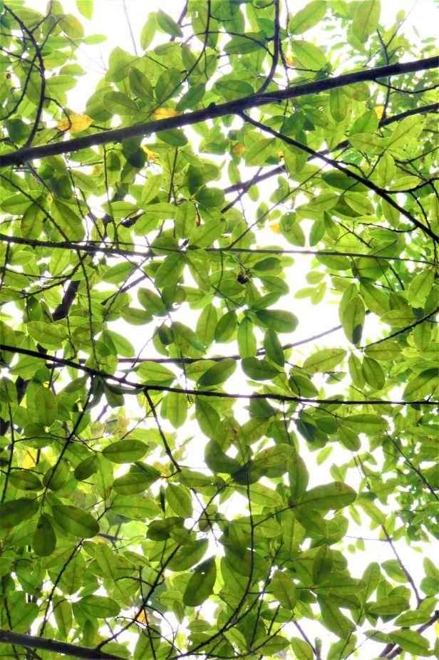 02 Ficus virens Sepilok FR●20190442★ Shuai LIAO-LSL_2253